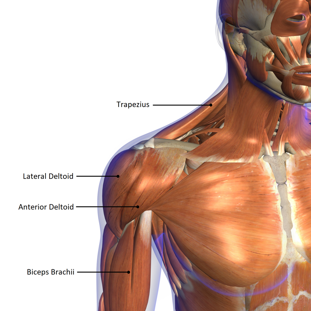 Shoulder Anatomy And The Best Exercise You Aren T Doing Auster
